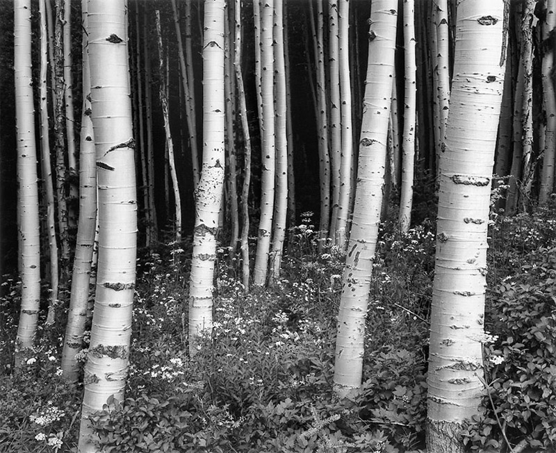 Chip Hooper   Aspens at Dusk, Targhee National Forest , 1994 Silver print 20 x 24 inches 26 x 32 inches All inclusive edition of 90