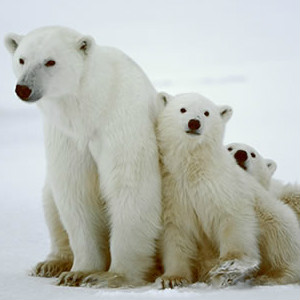 wwf-polar-bear.jpg
