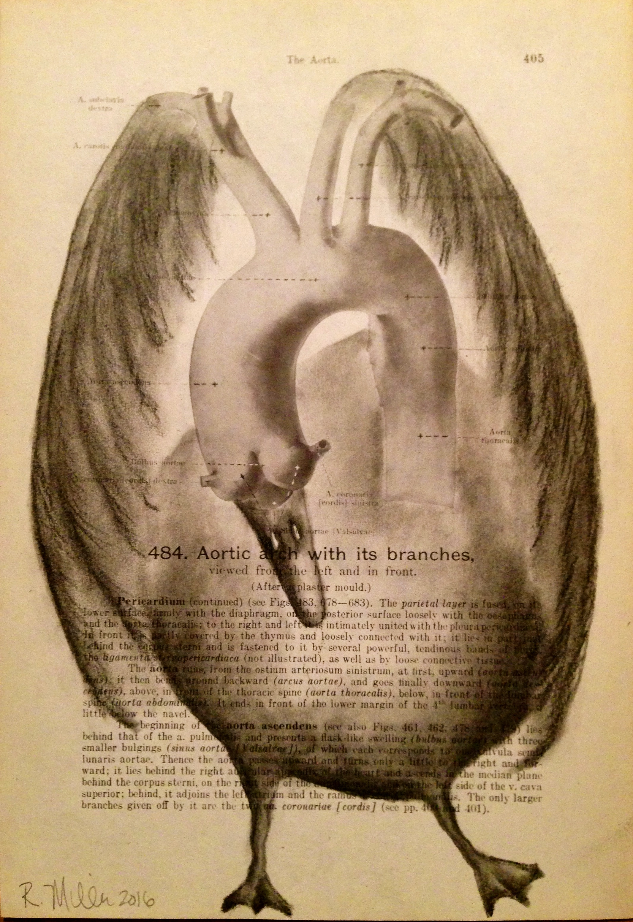 Aortic Bird, 2016   Charcoal on antique medical paper