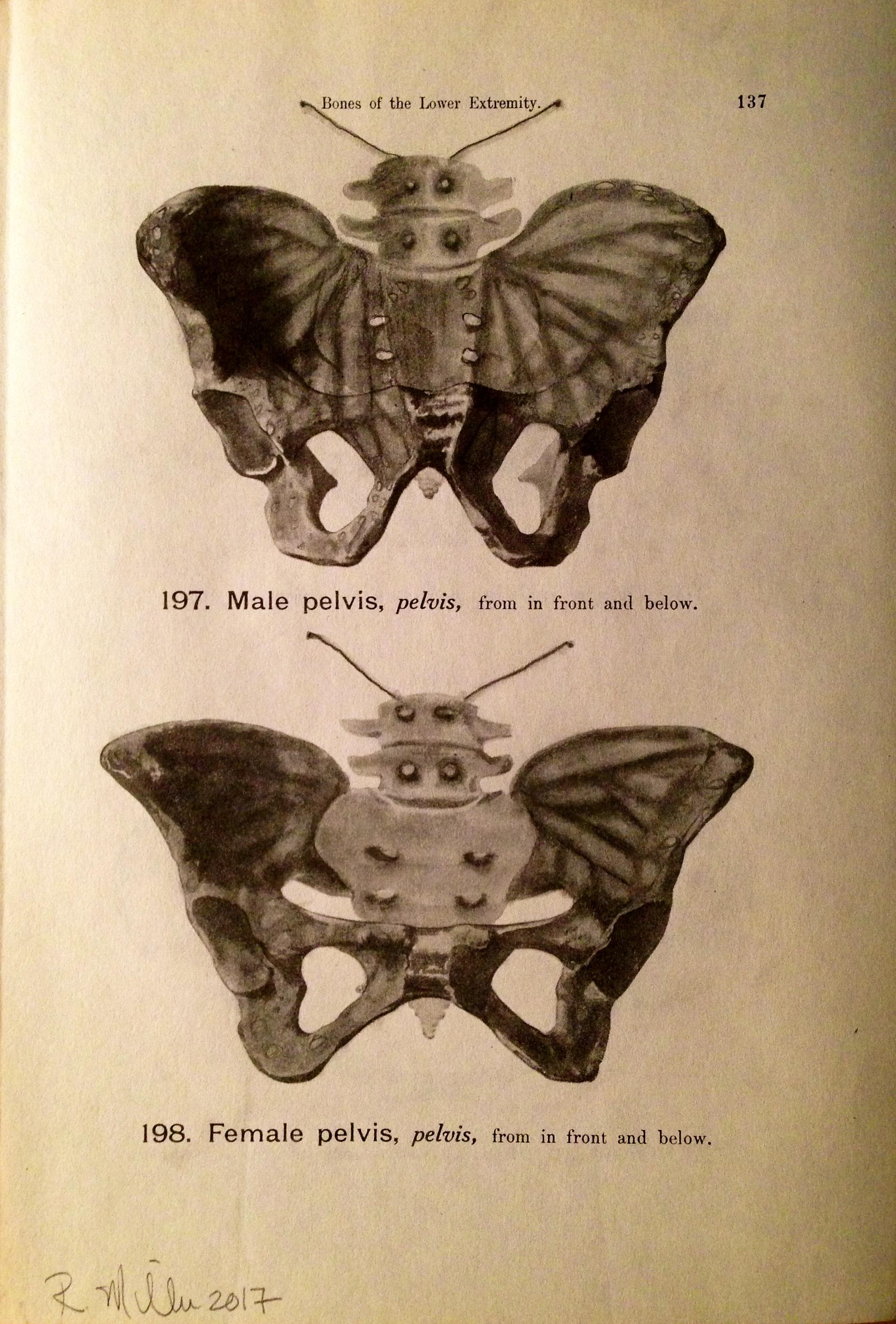 Pelvic Flutter, 2017   Charcoal on antique medical paper