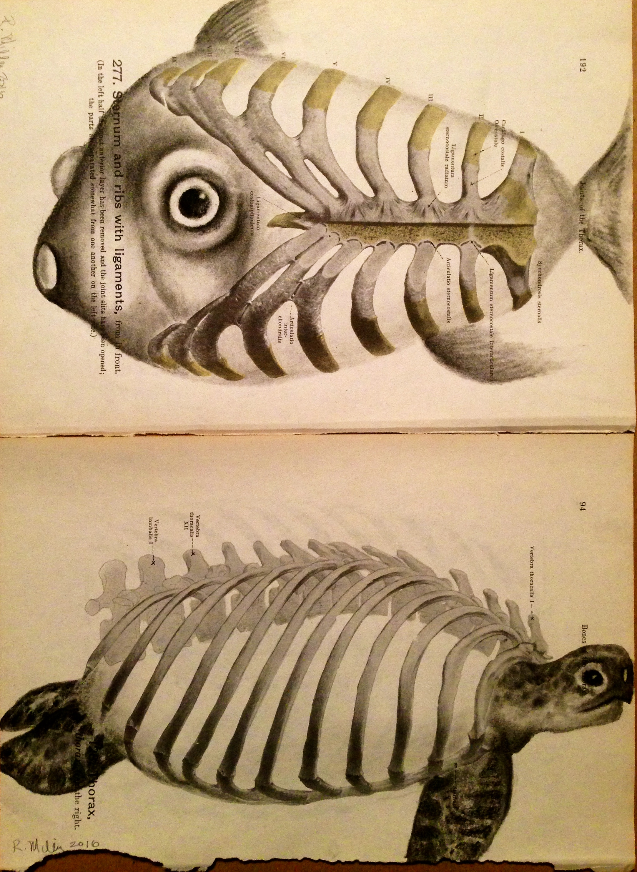 Sternum Fish & Thorax Turtle, 2016   Charcoal on antique 1861 medical paper