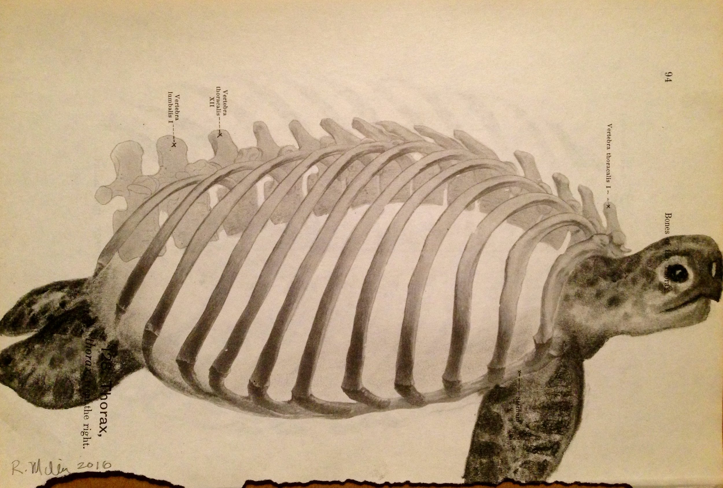 Thorax Turtle, 2016   Charcoal on antique medical paper