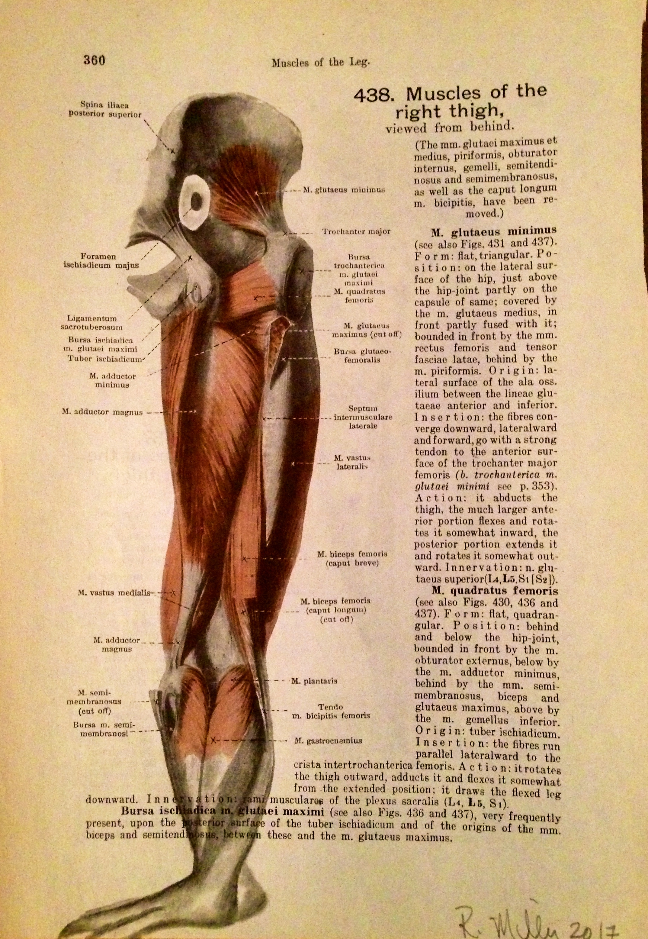 1861 Anatomy paper for leg muscle, I see creature from the black lagoon or Leghead...    Leghead, 2017   Charcoal on antique 1861 medical paper