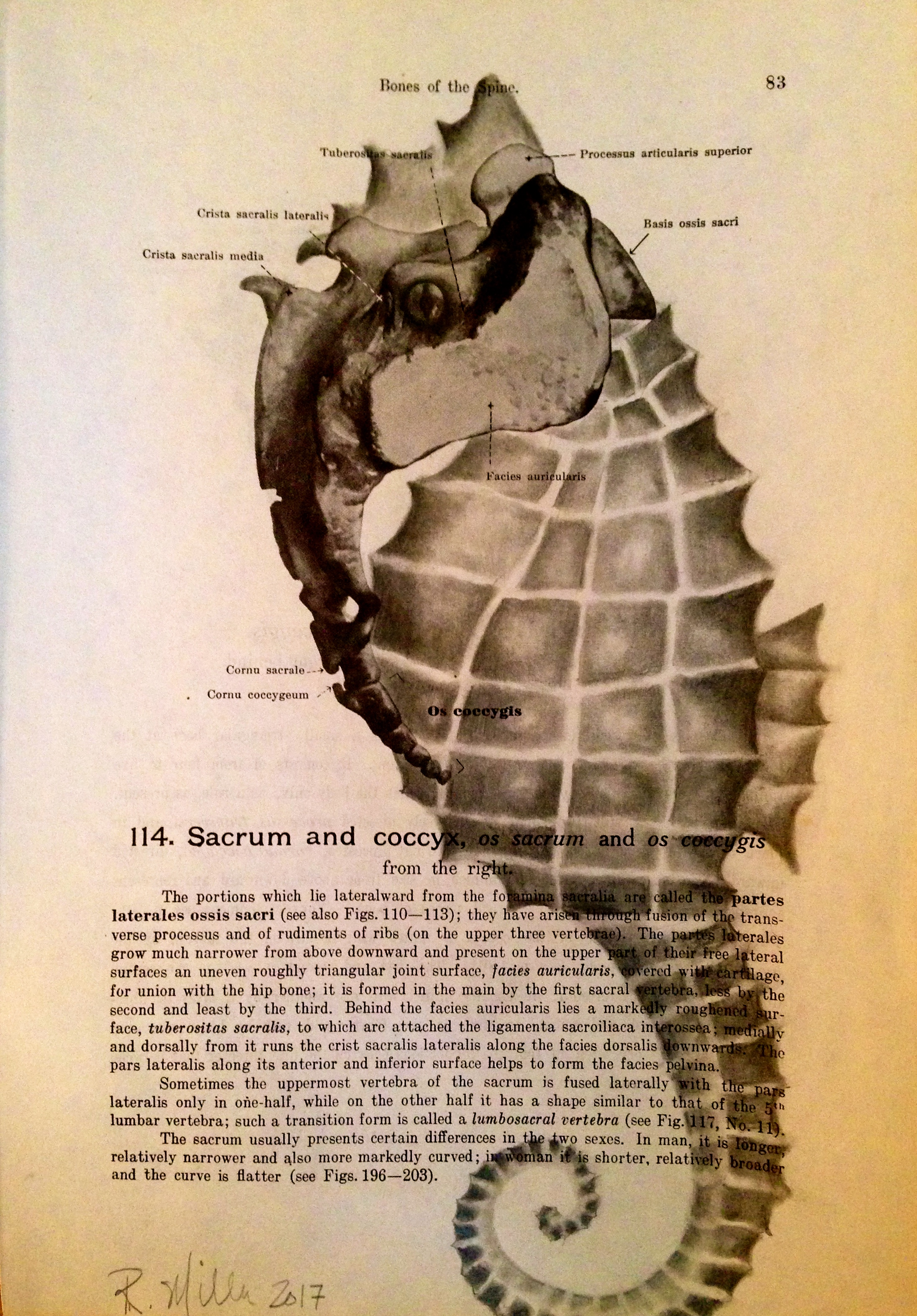 1861 Anatomy paper for Sacrum, I see Seahorse    Spiny Seahorse, 2017   Charcoal on antique 1861 medical paper