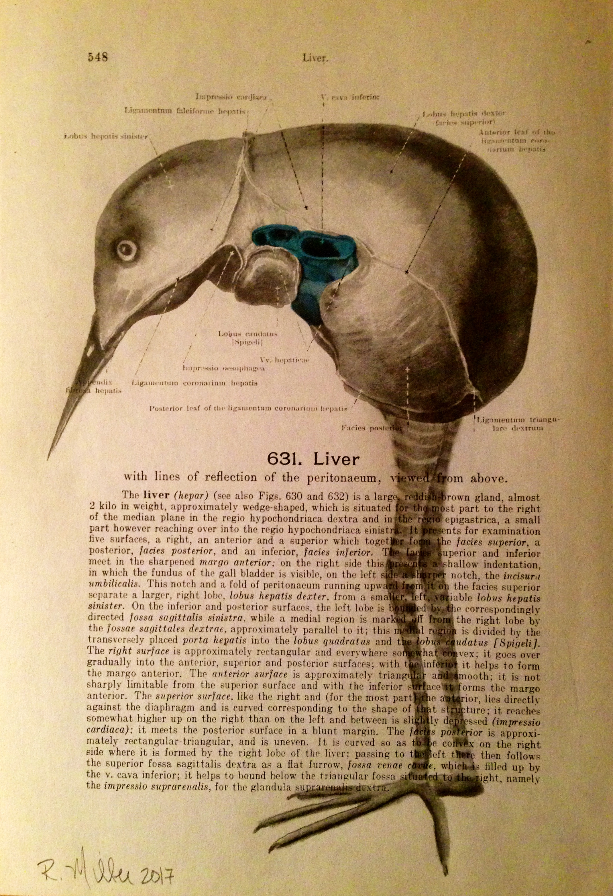 1861 Anatomy paper for Liver, I see a bird    Liverbird, 2017   Charcoal on antique 1861 medical paper