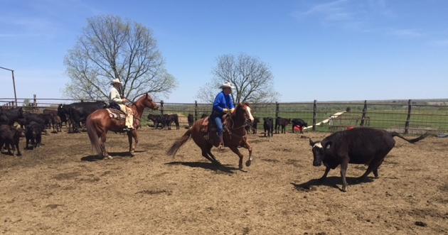 Tim, sorting cattle at his Falling T Ranch, Elmer, MO