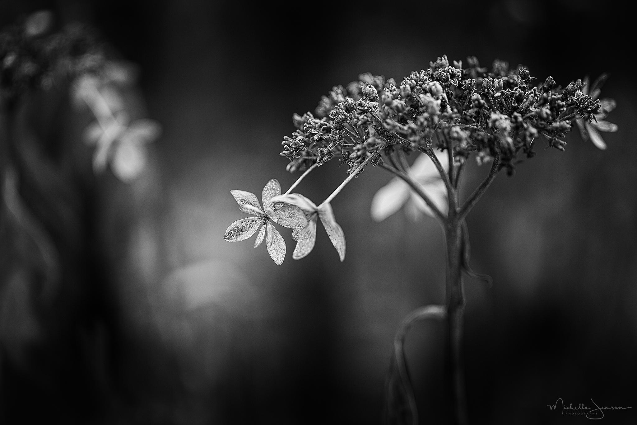 Winter Hydrangeas 1