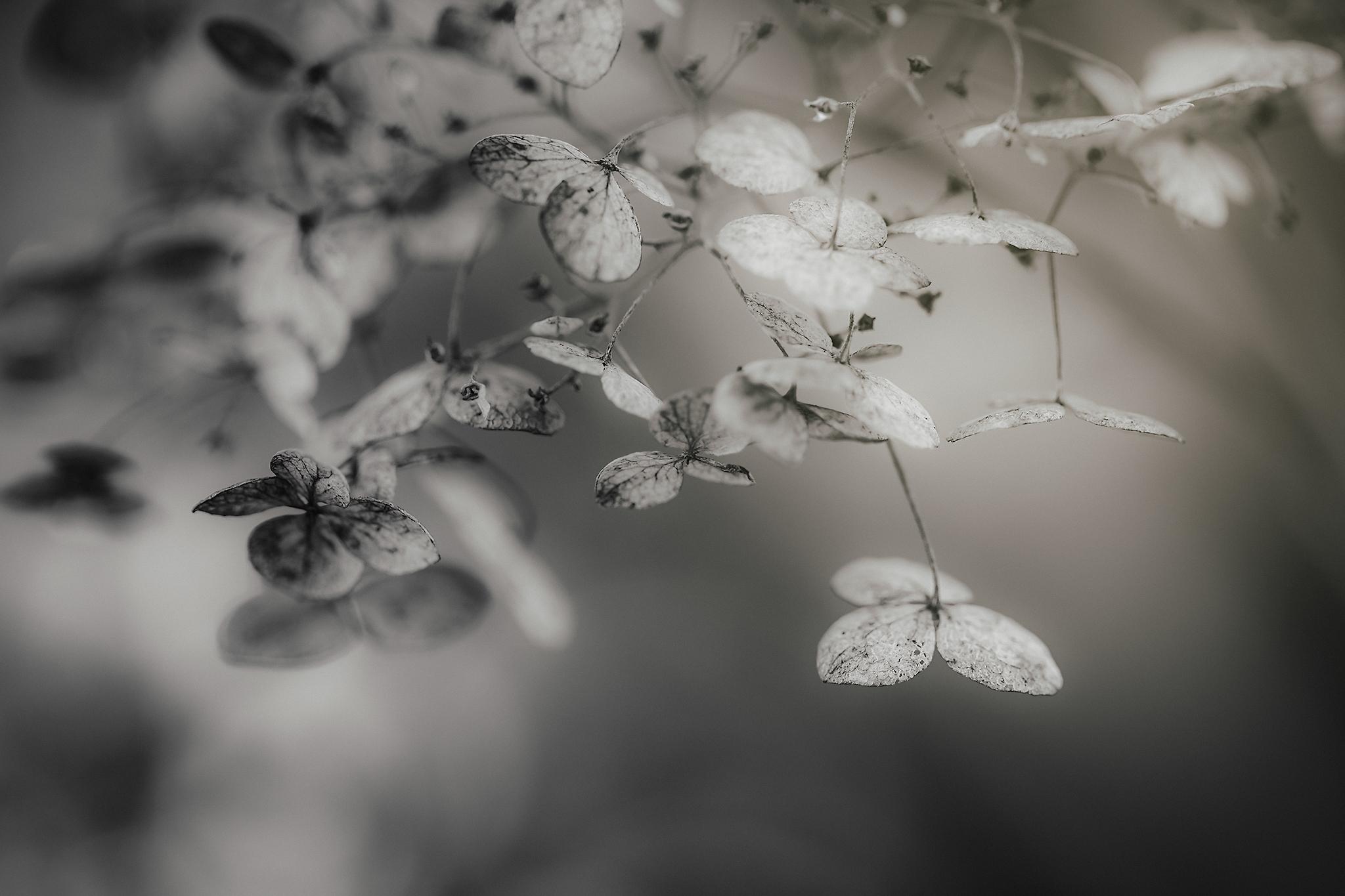 Winter Hydrangeas 2