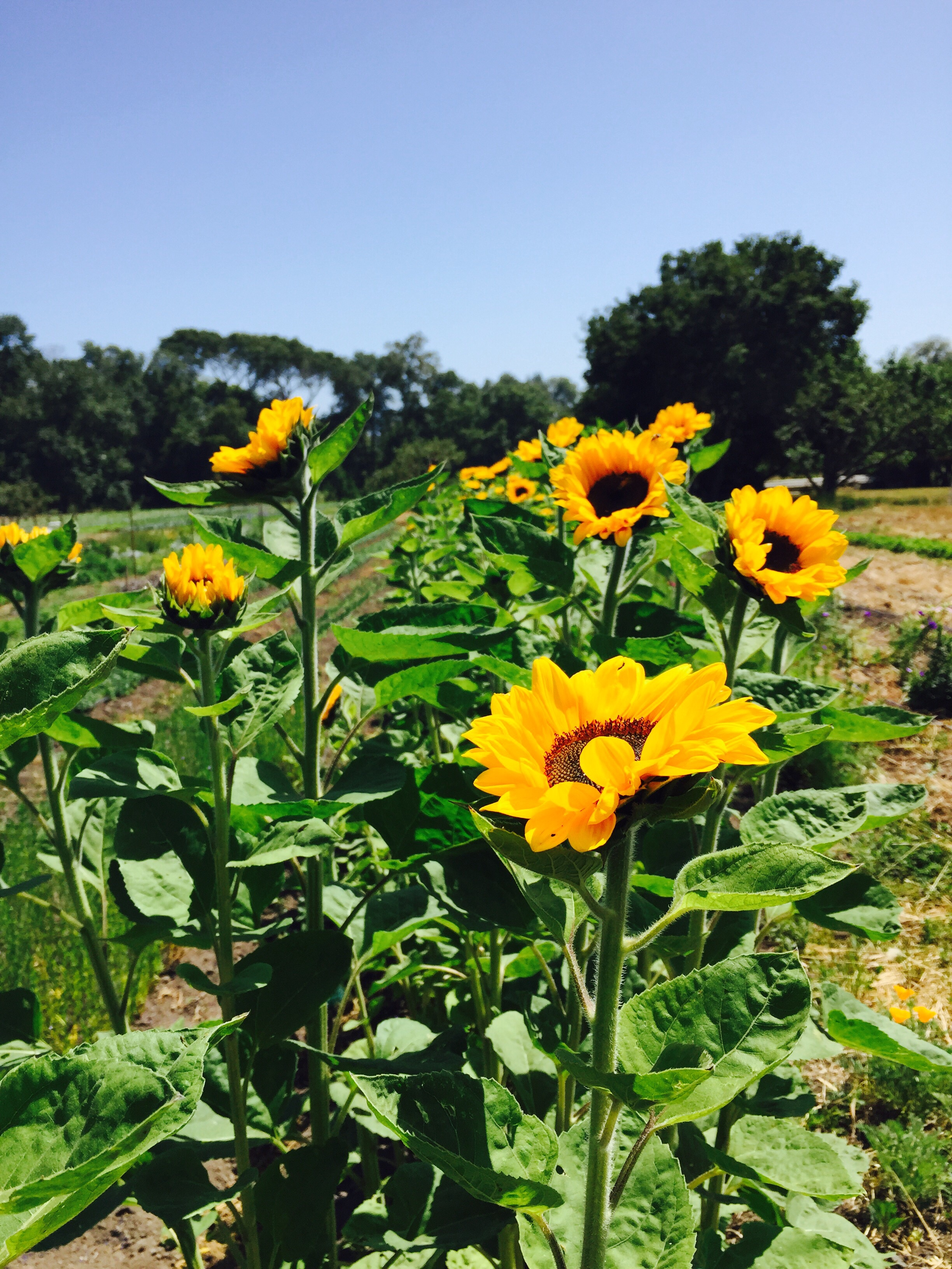 Reaching for the Sun at Everett Family Farm in Soquel, California