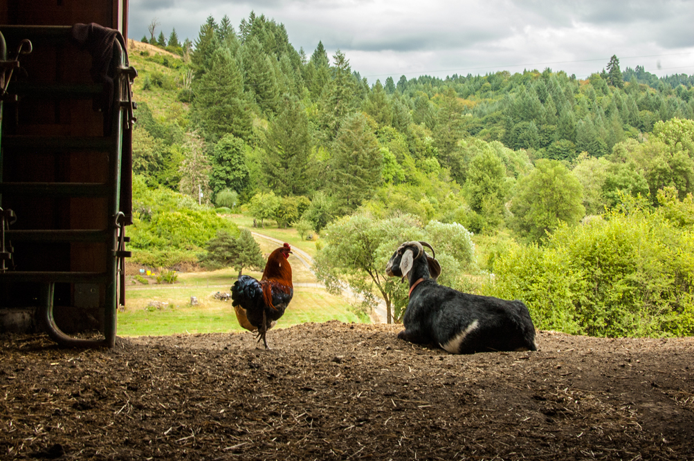 Goateo + Rooster at Big Table Farm in Gaston Oregon