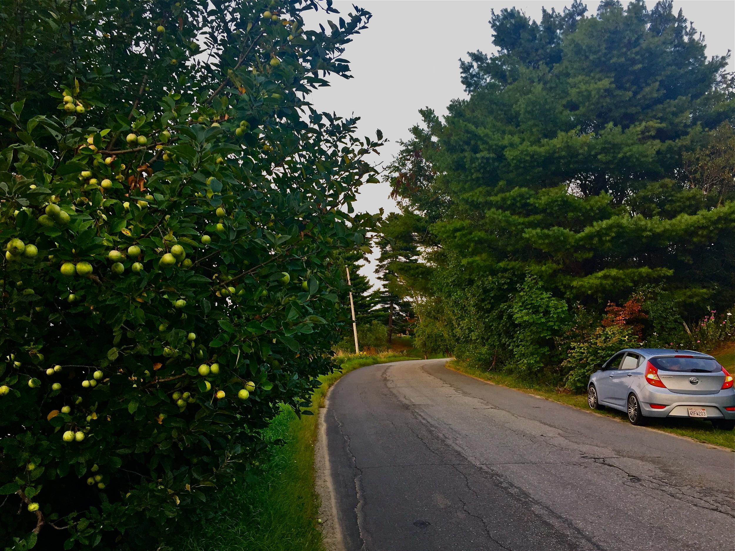 gathered roadside in Newcastle, Maine