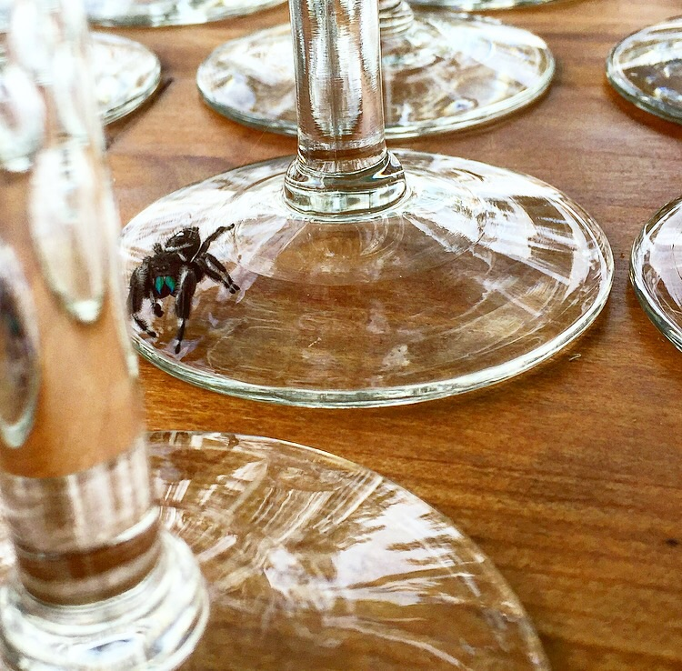 Regal Jumping Spider + Glassware// Fields Store, Texas
