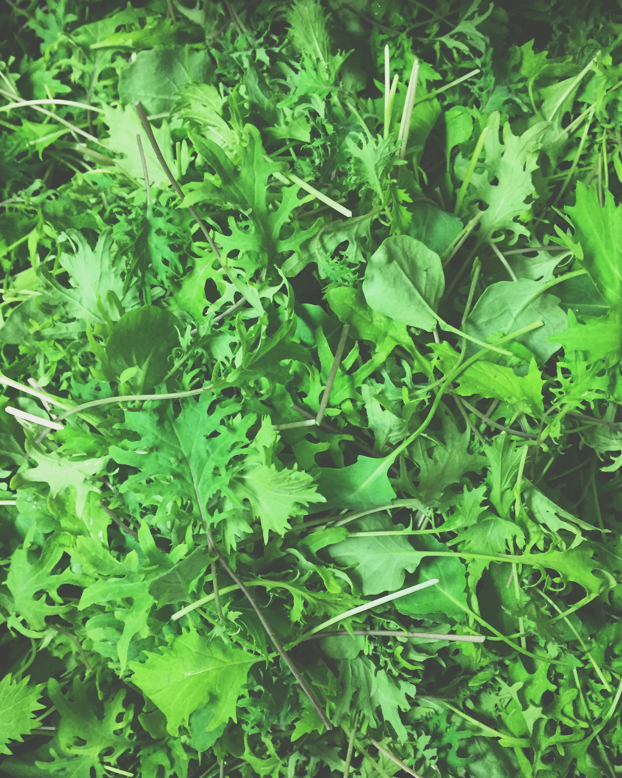 Salad green beauties locally grown in Pennsylvania by my favorites at Peace Tree Farm// Plumsteadville, Pennsylvania