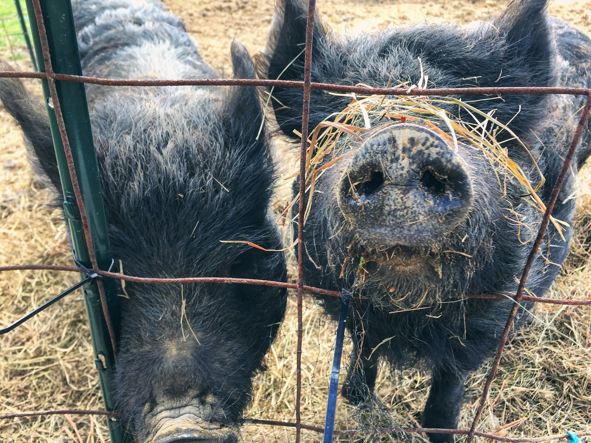 Pig Friends at Philos Farm// Schnecksville, Pennsylvania