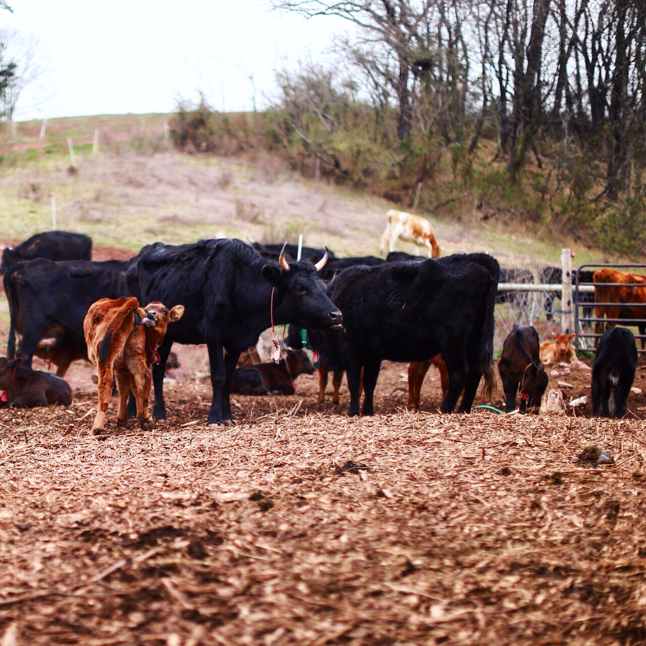 New Herd at Bobolink Dairy// Milford, New Jersey Photo by Ellie Tremble