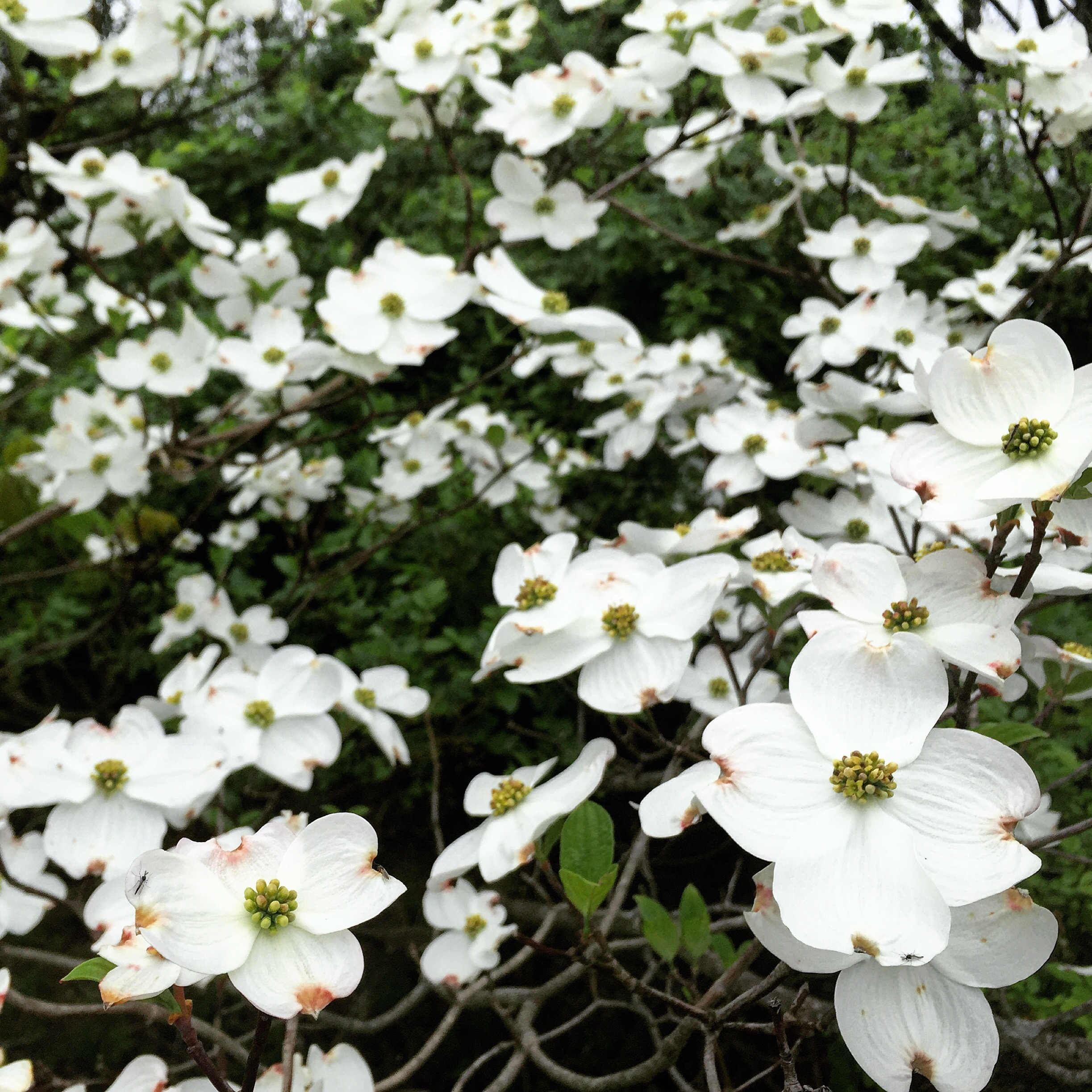 Dogwood Bloom// Milford, NJ