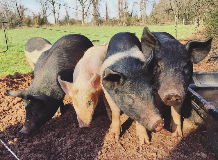 Pig Friends// Broad Wing Farm, Morgantown, PA
