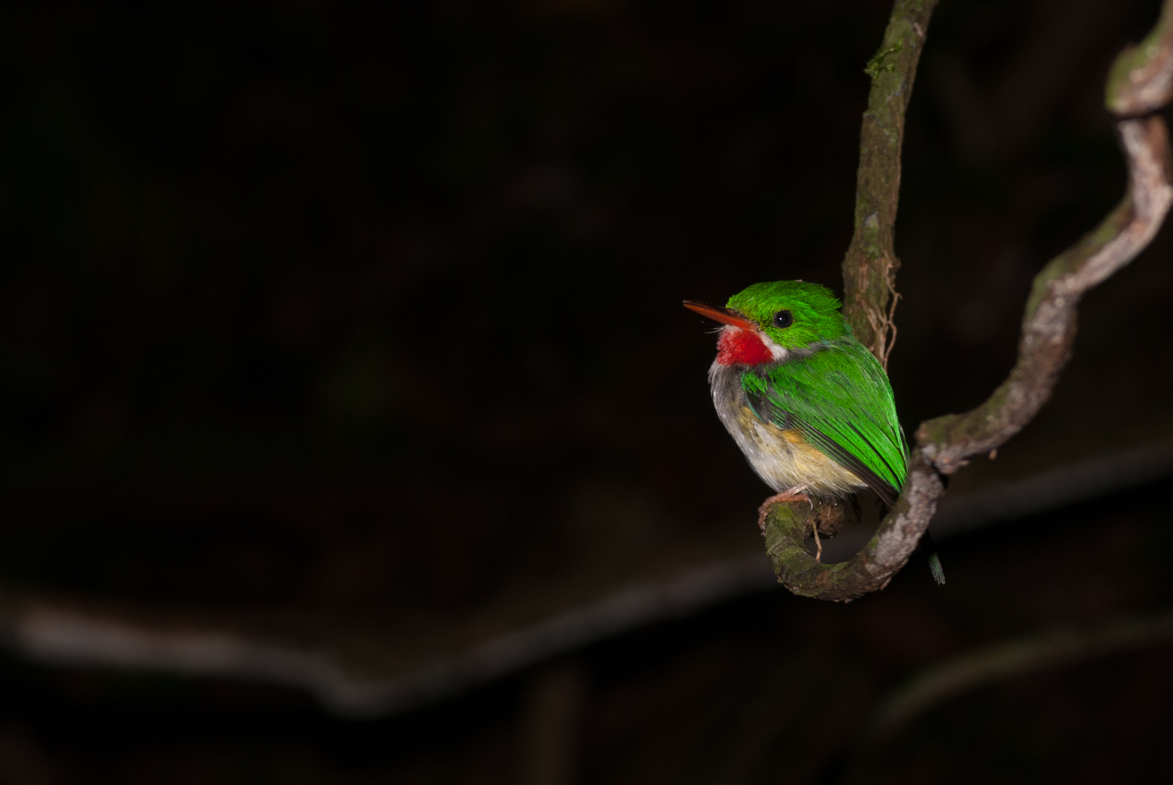 Puerto Rican tody. picture by Solon Morse