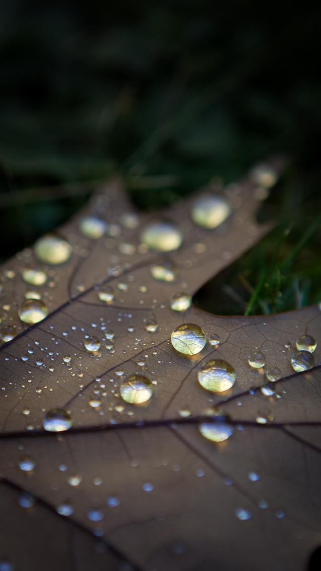 Autumn Leaf, Royal Tasmanian Botanical Gardens