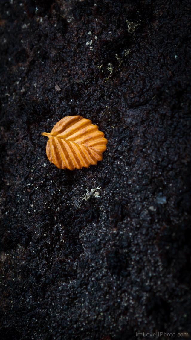 Fagus leaf, Mt Field