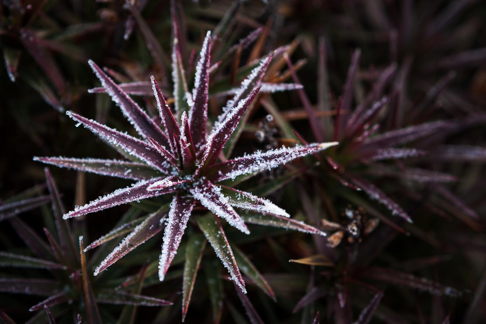 Icy Richea Scoparia, Mt Wellington, Tasmania