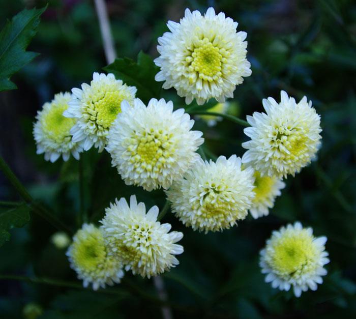 Ju-hua (Chrysanthemum morifolium)