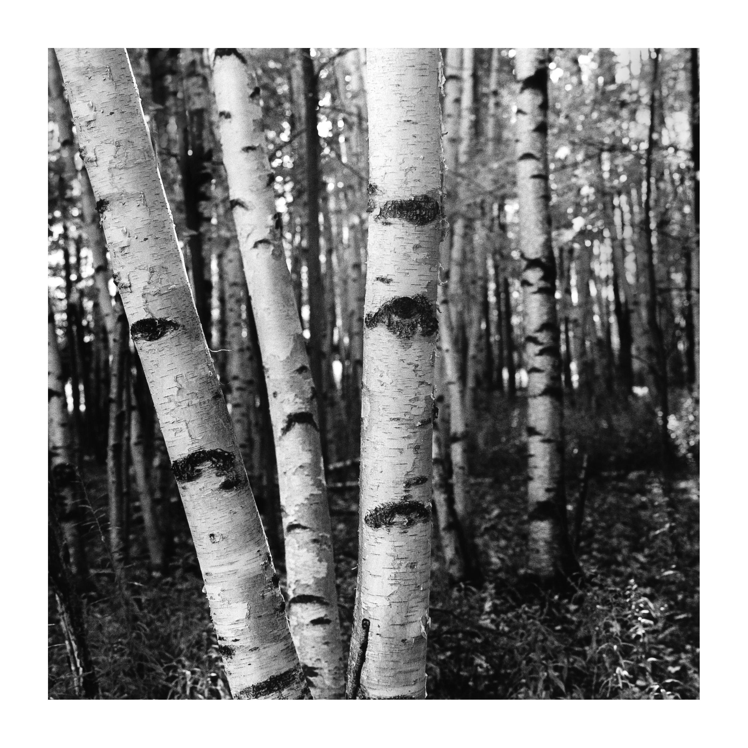 birch 3.jpg
