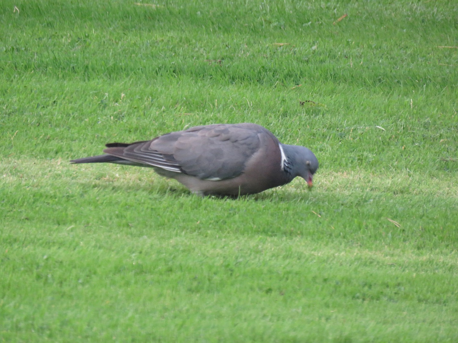 Our first bird - right in the front yard.  A wood pigeon - the head is a lovely teal green.