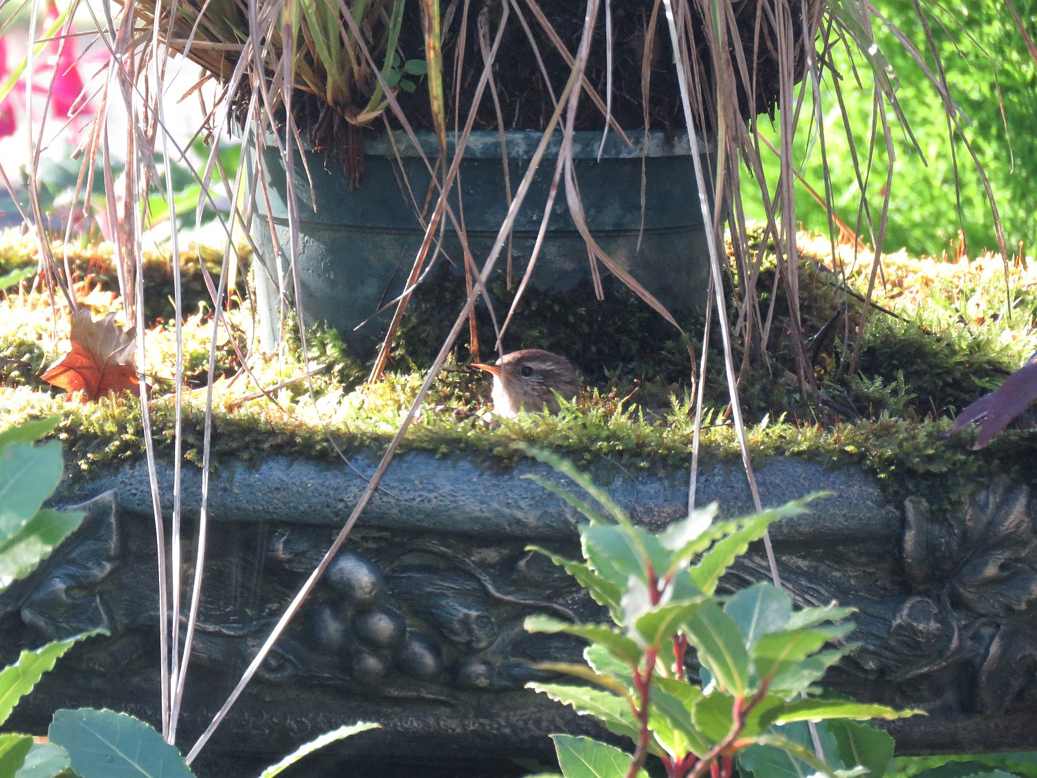 Home again to Southwinds where Ed got this shot of a tiny wren who has been serenading us each day - taking a bath in the mossy birdbath. Look for a small bird head in the center of the photo.