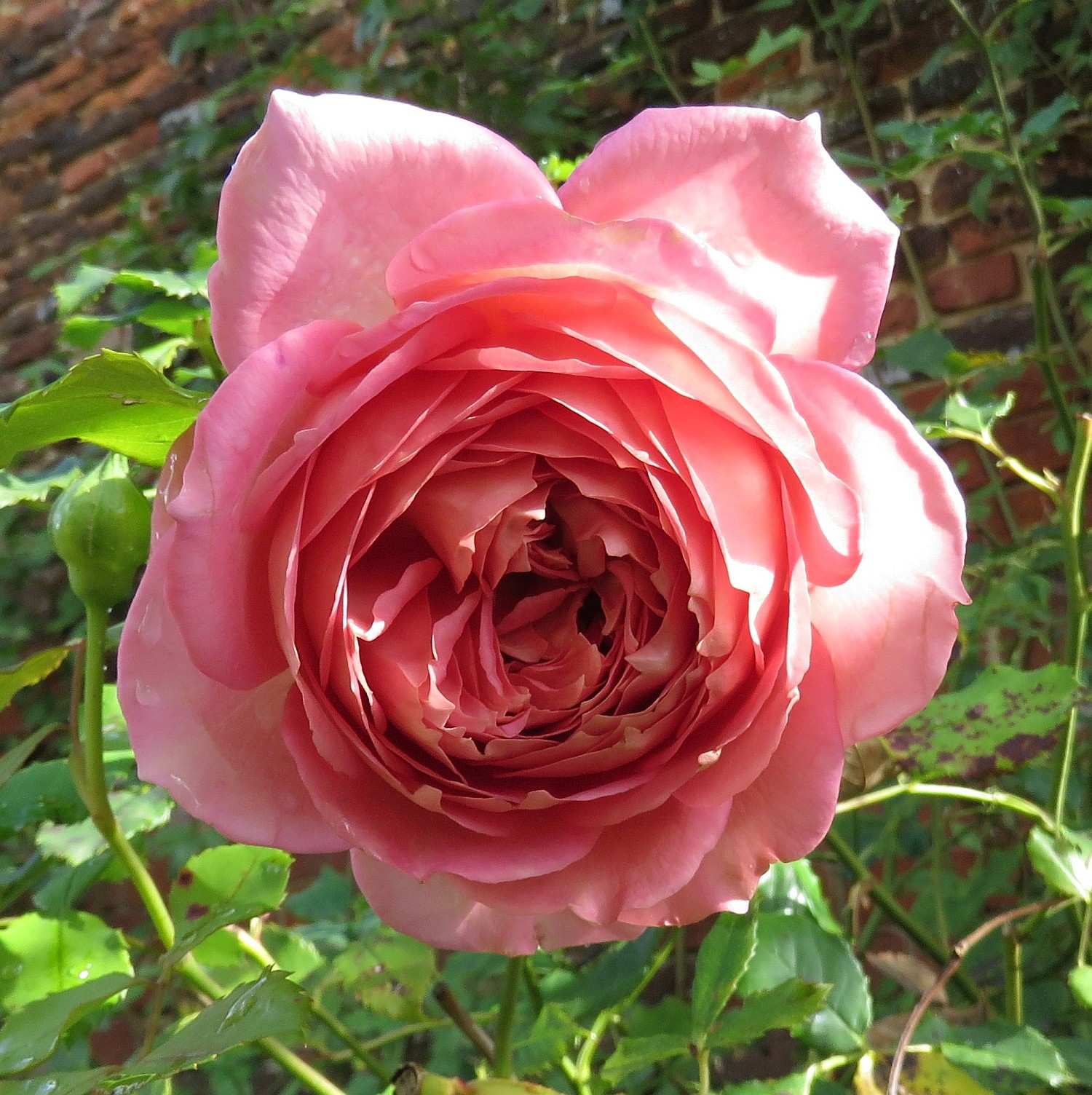 Alas, not a Tudor red rose, but a lovely pink with a hint of scent.