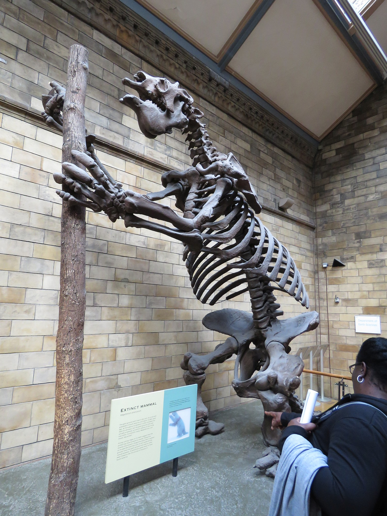 "Giant Sloth skeleton. These were sometimes ""game"" for early humans in the America's"