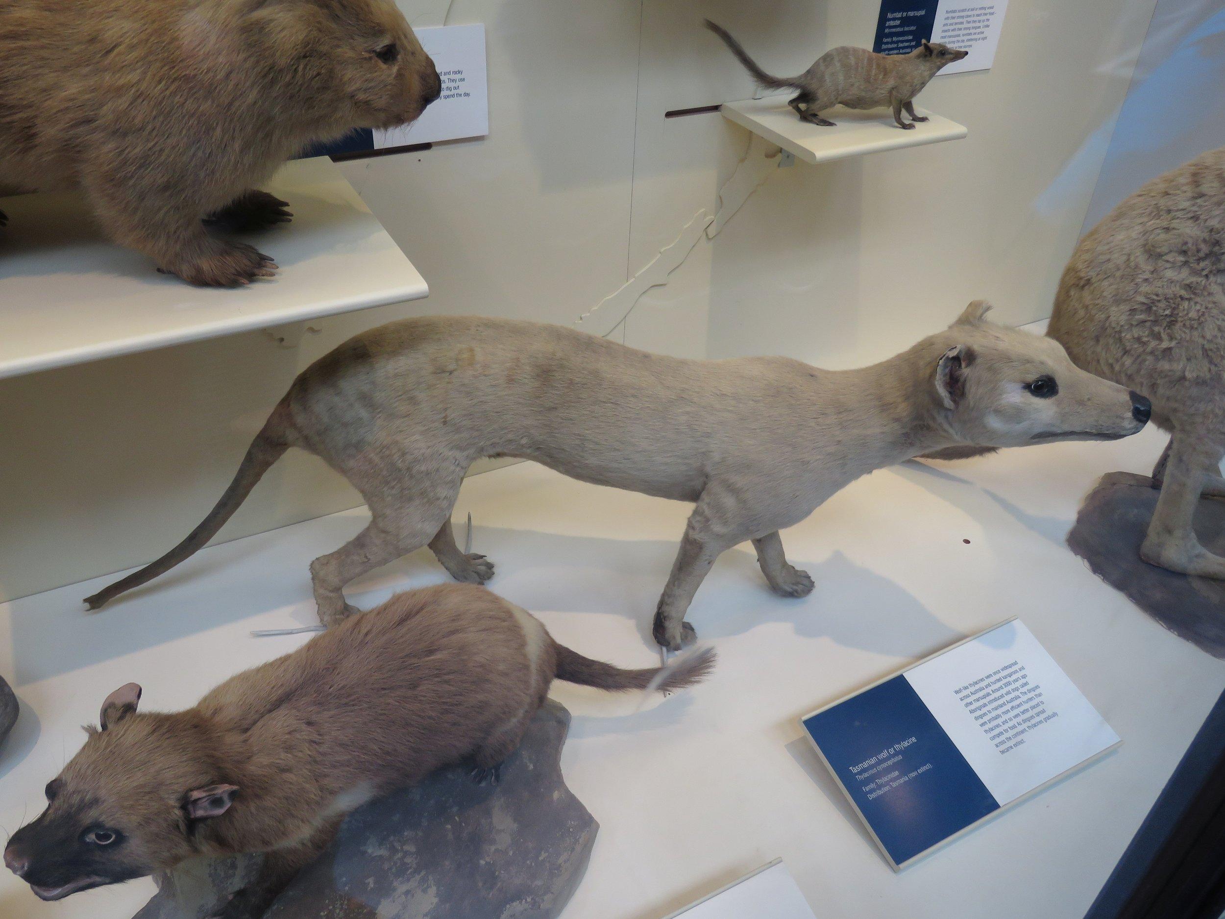 Thylacine or Tasmanian Wolf