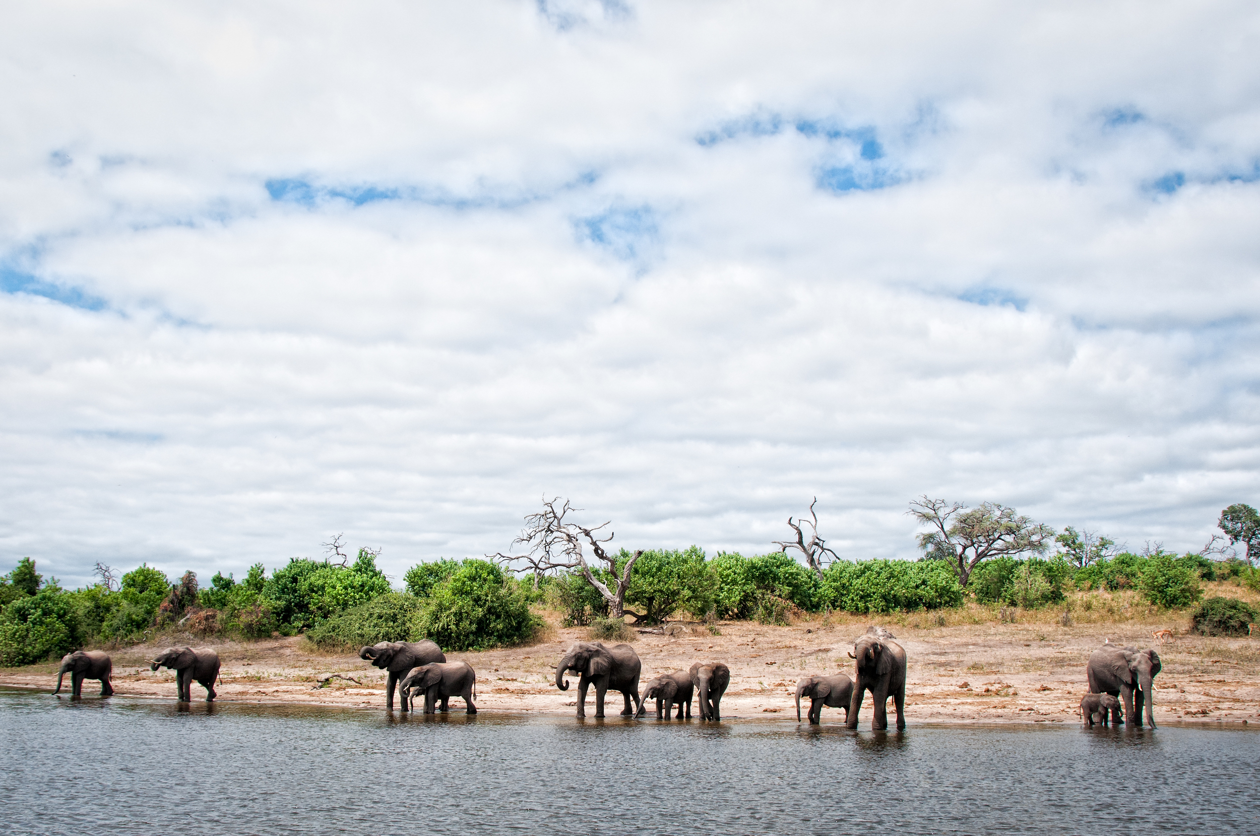 Drinking time, Chobe River