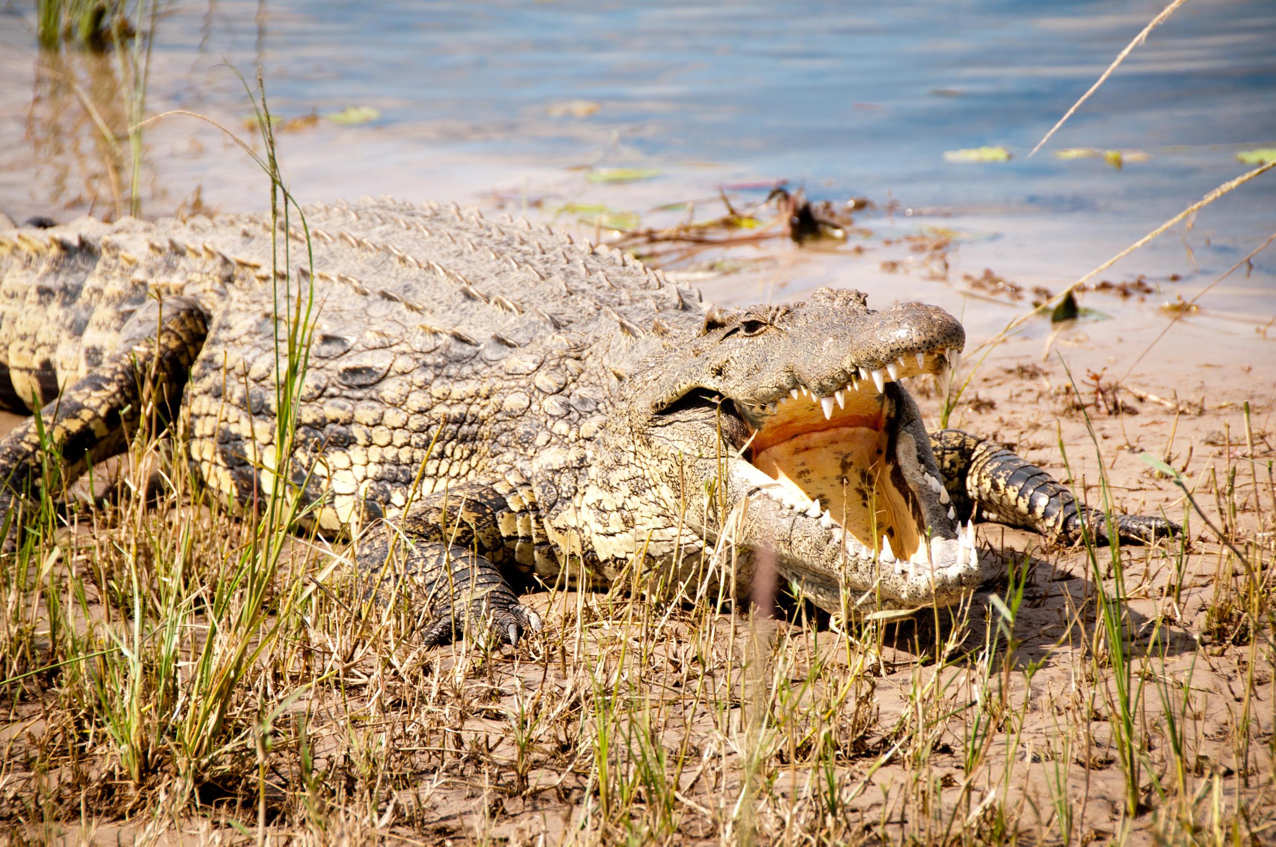 Big mouth, enjoying the sun, Chobe River