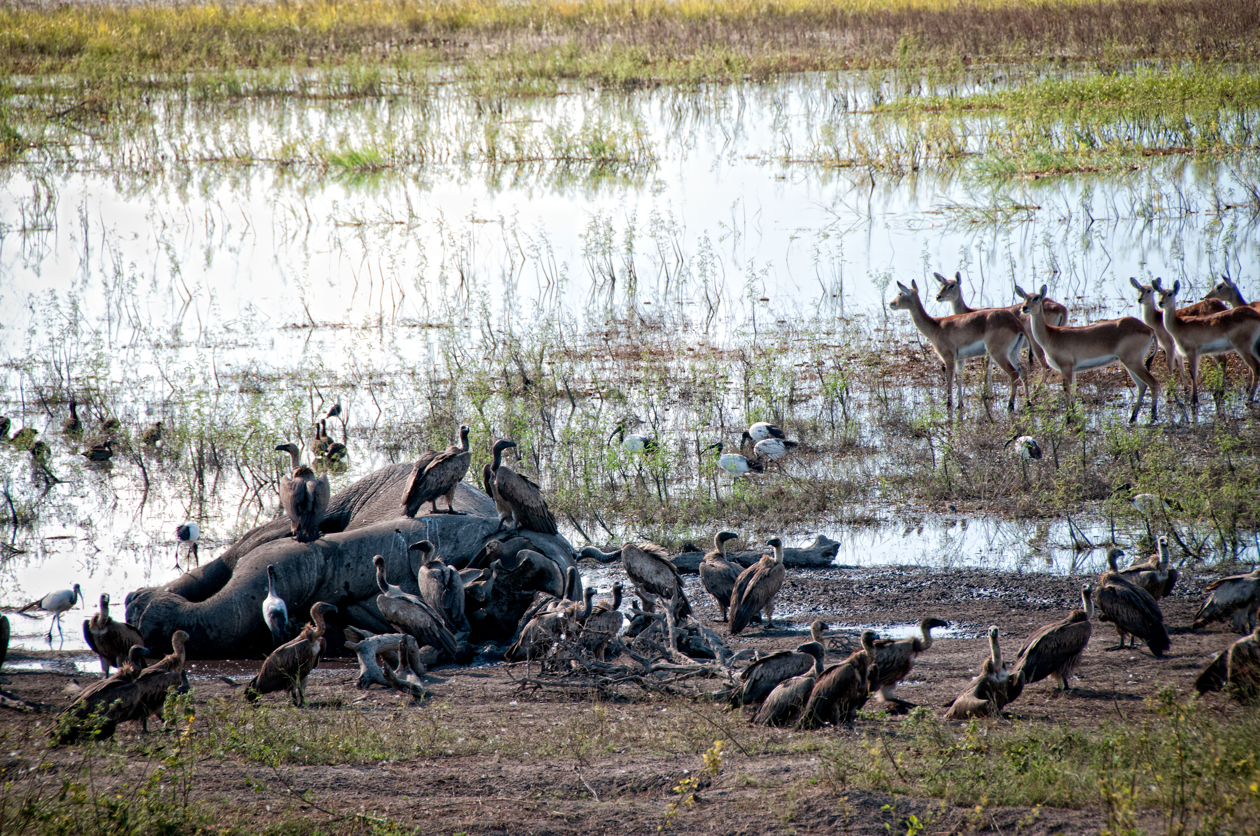 Elephant Carcass, with Vultures. Chobe River
