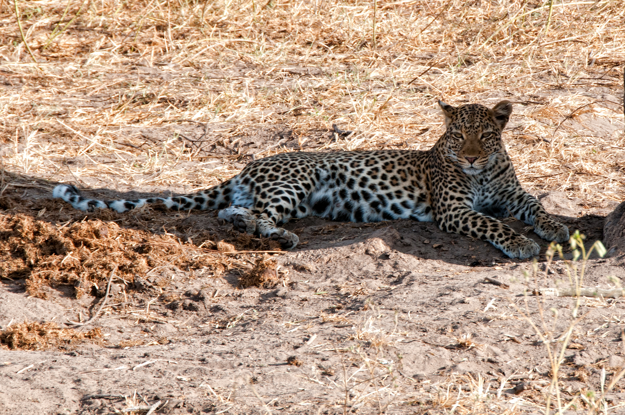 Leopard, in the shade, Chobe River