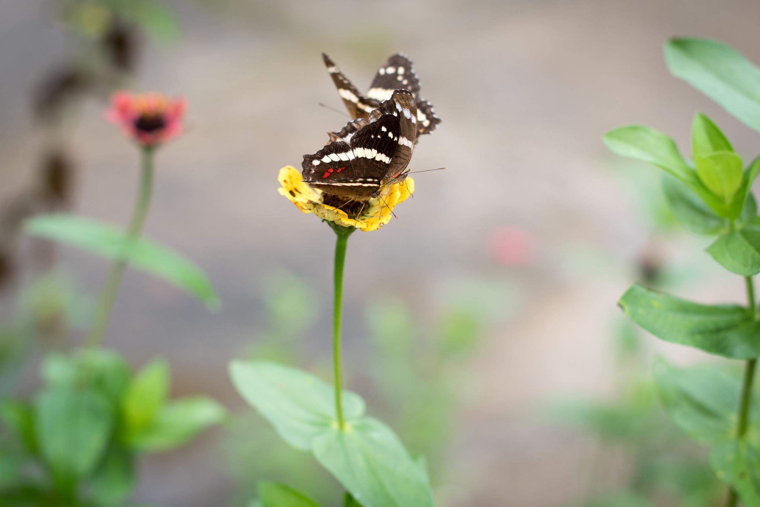 Butterflies, Palenque