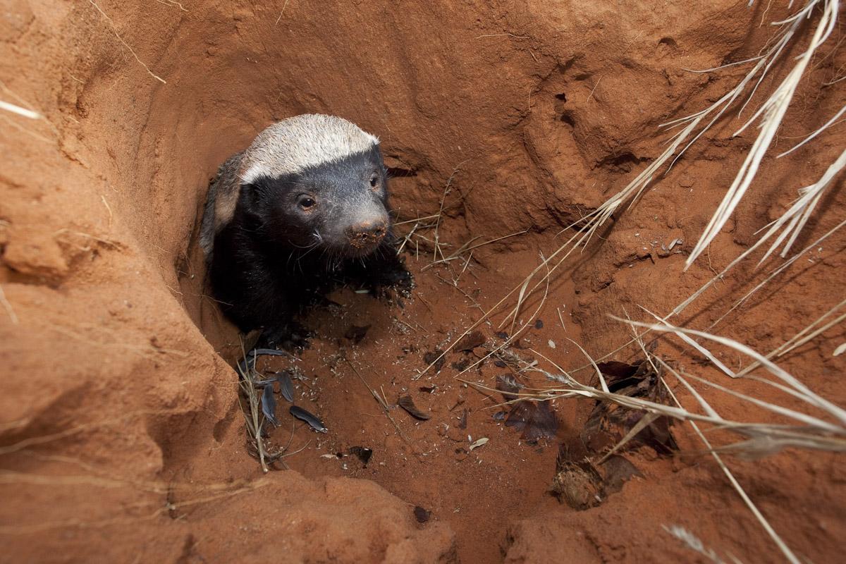 Honey badger-2-2.jpg