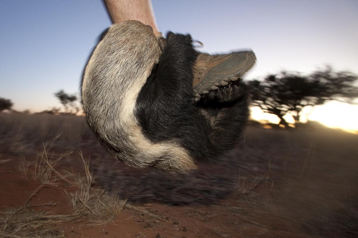 Honey badger-2.jpg