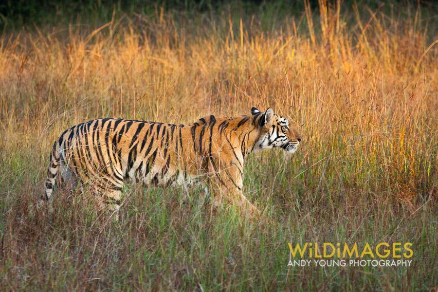 Tiger dawn-1.jpg