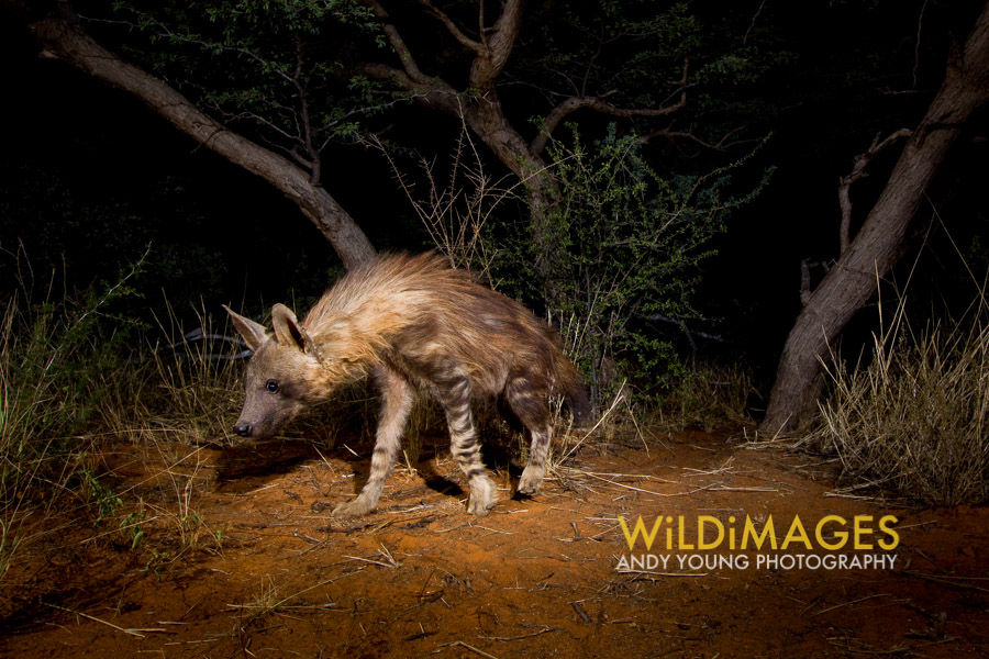 Brown hyena, Kalahari desert, South Africa. Copyright wildimages.org