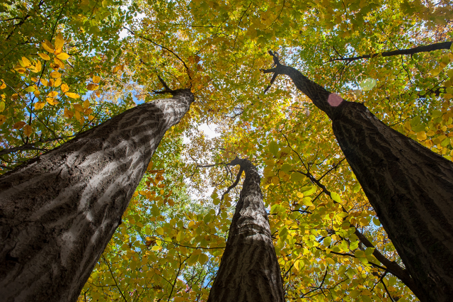 Looking up at a trio of nut trees: London, Ontario