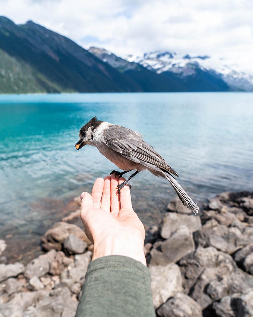 The incredibly bold Grey Jays at Garibaldi Lake