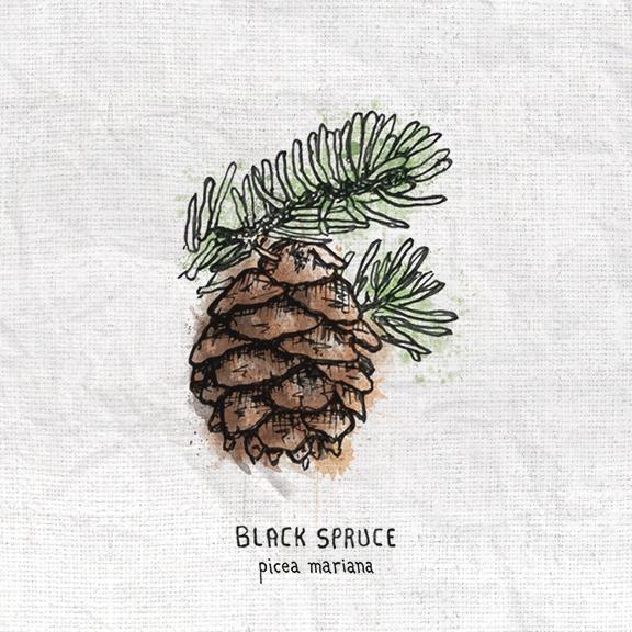 Black Spruce.jpg