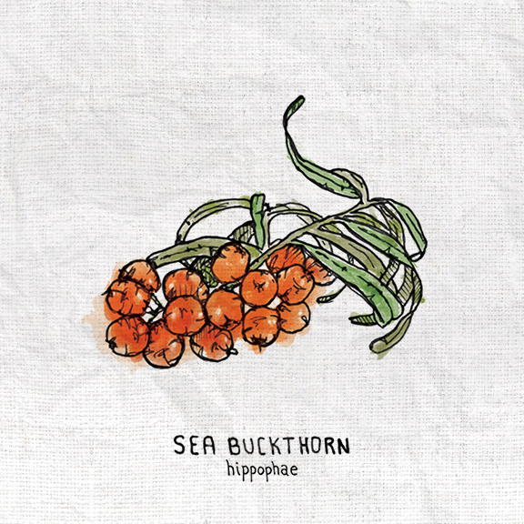 Sea Buckthorn.jpg