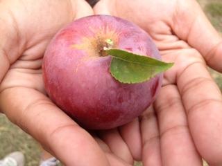 Apple picking Emmett