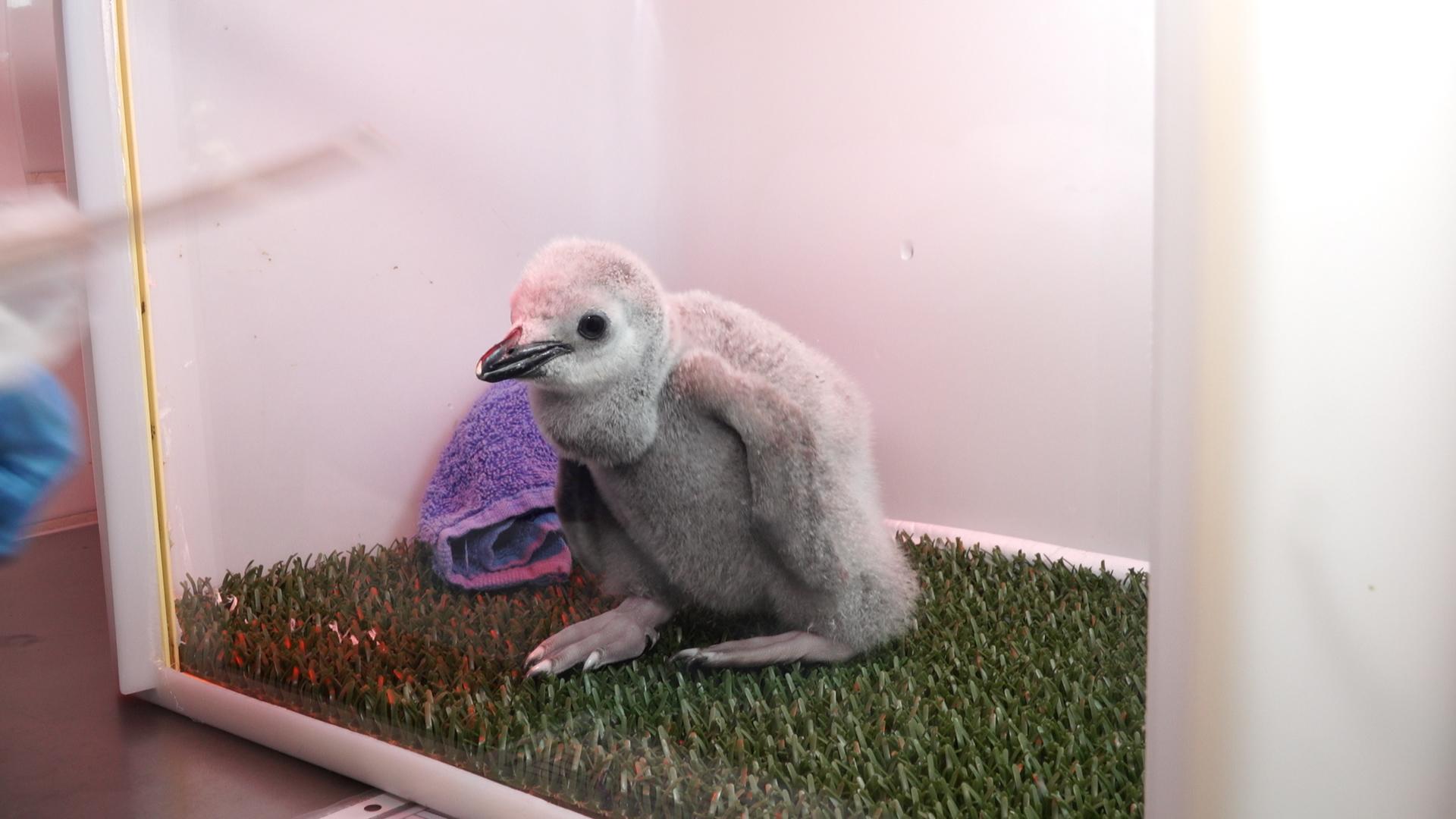 Chinstrap Penguin Chick (2).jpg