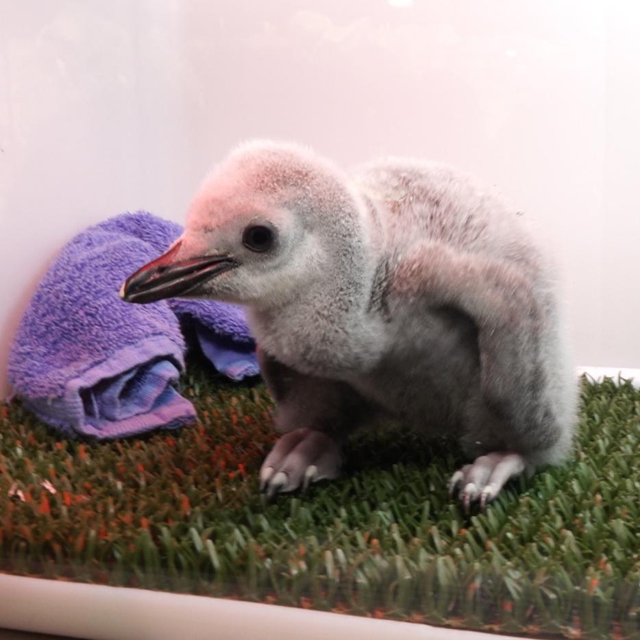 Chinstrap Penguin Chick (1).jpg
