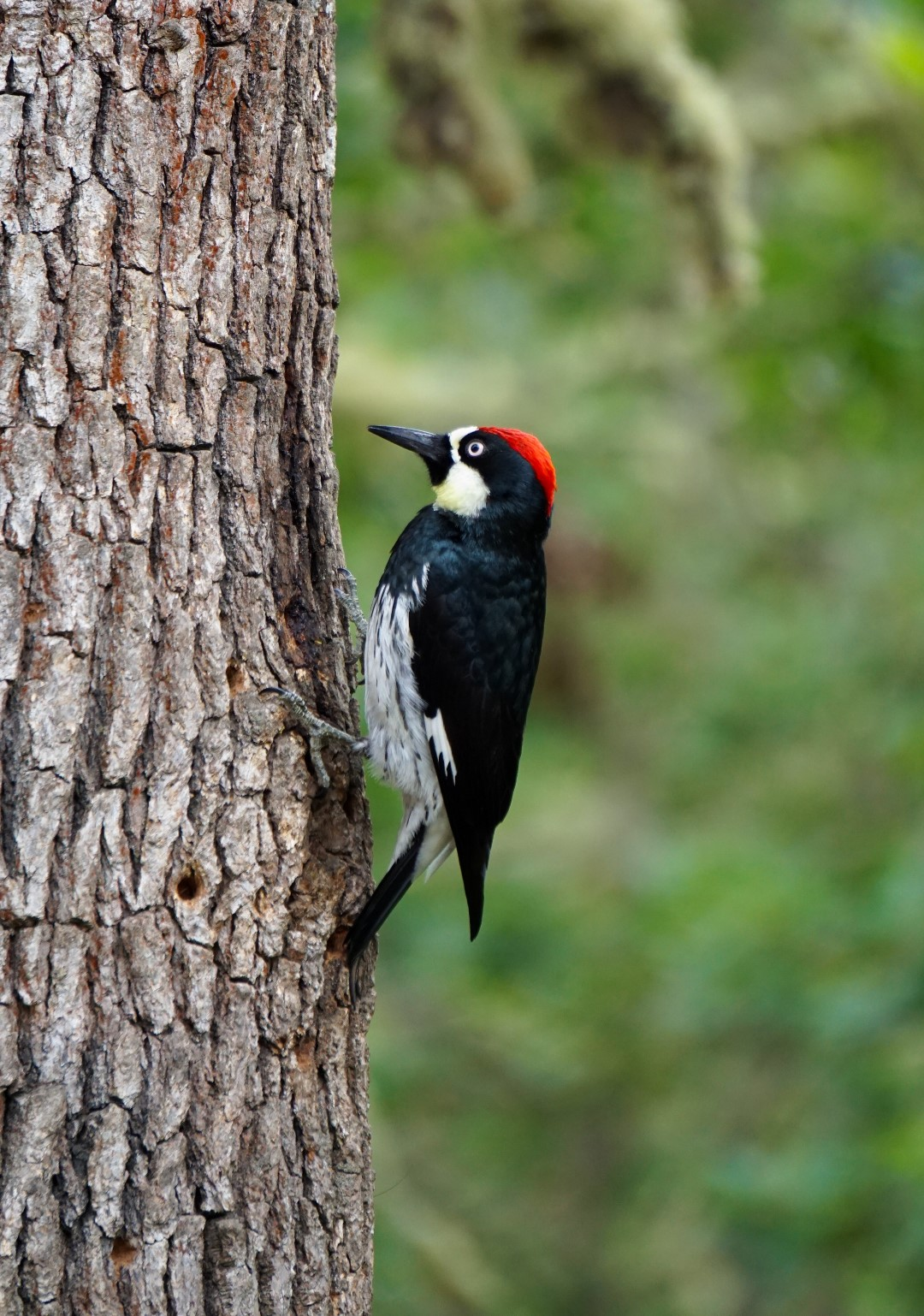 woodpecker©2015seanhemak (Large).jpg