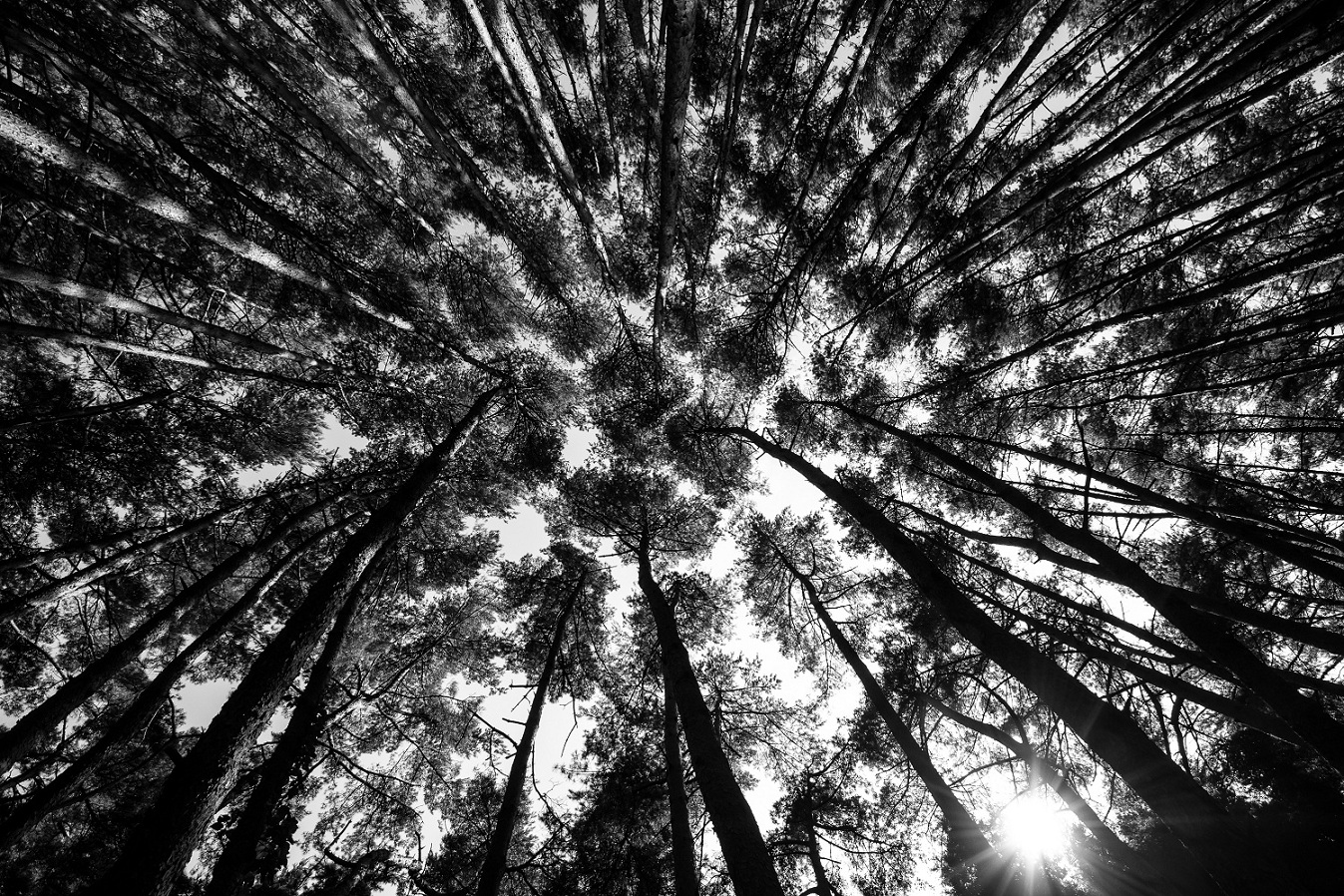 pinesfrombellow.jpg